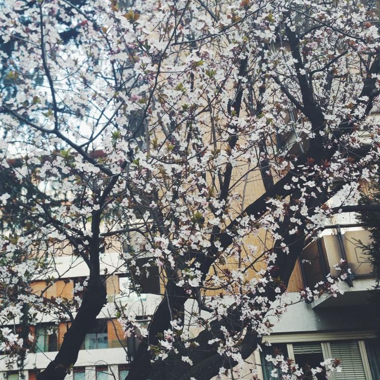 alberi in fiore a milano