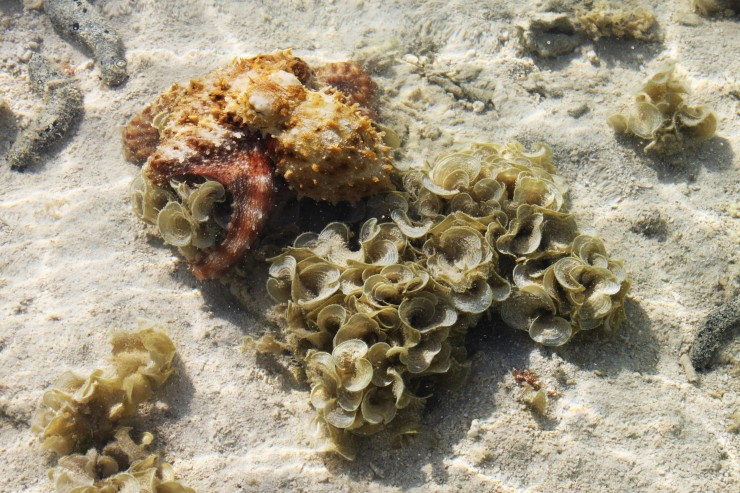 risotti e dintorni, isole cook, cook islands, aitutaki, rarotonga, pesci, barriera corallina, polpo, polipo